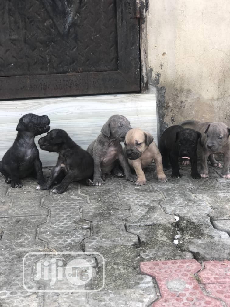 6-12 Month Male Purebred Boerboel | Dogs & Puppies for sale in Warri, Delta State, Nigeria
