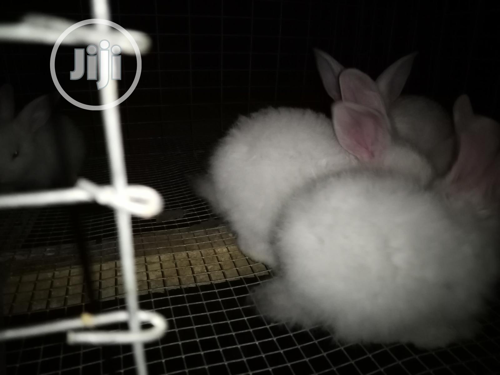 Angora Rabbits for Sale | Livestock & Poultry for sale in Ibadan, Oyo State, Nigeria