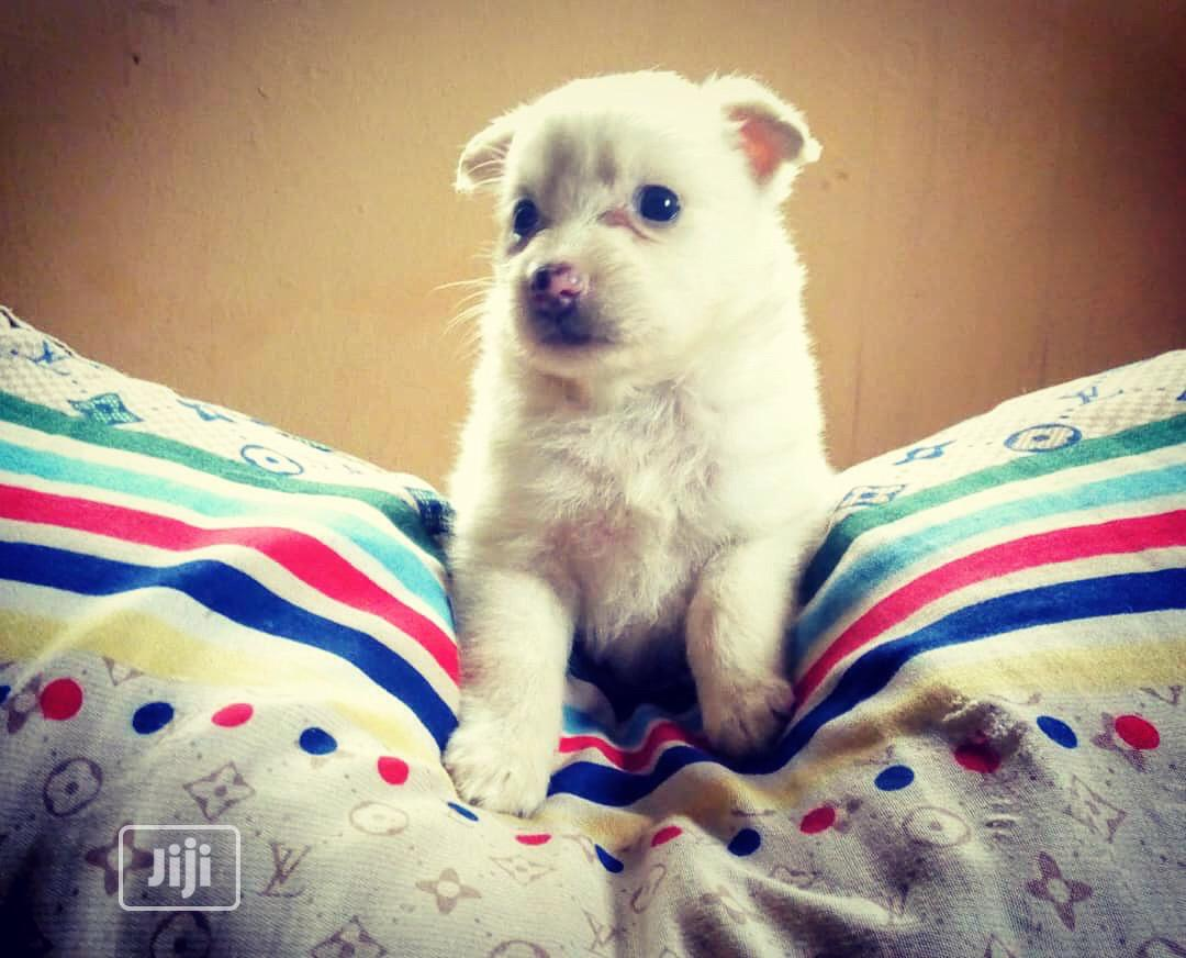 1-3 month Male Purebred American Eskimo | Dogs & Puppies for sale in Alimosho, Lagos State, Nigeria