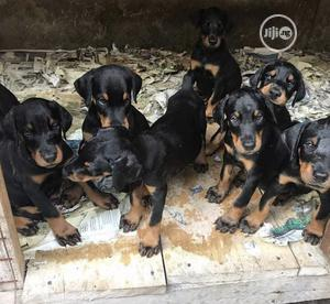 1-3 Month Female Purebred Doberman Pinscher | Dogs & Puppies for sale in Lagos State, Ikorodu