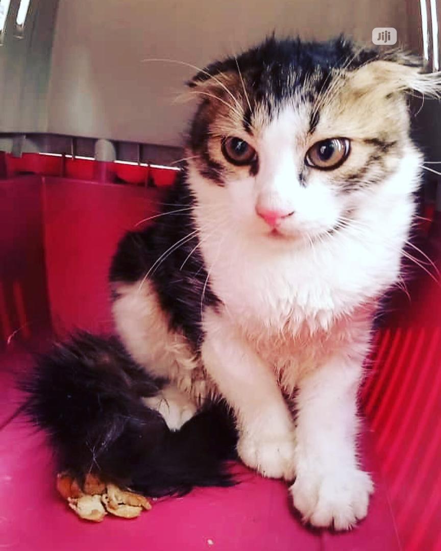 1-3 Month Male Purebred Scottish Fold | Cats & Kittens for sale in Victoria Island, Lagos State, Nigeria