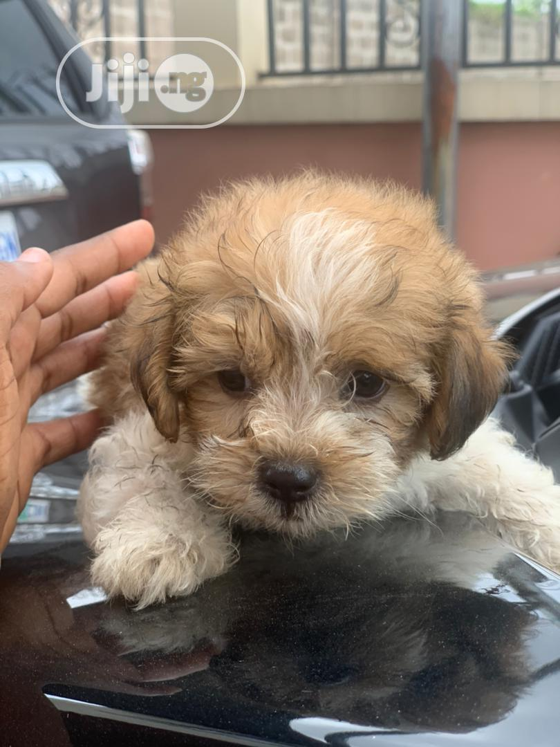 1-3 Month Male Purebred Lhasa Apso