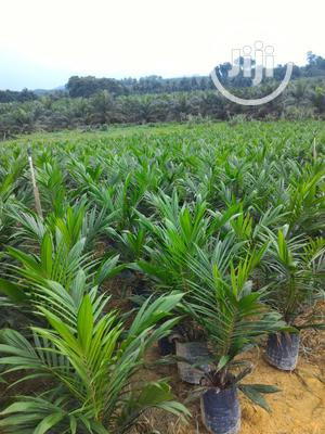 Hybrid Malaysian Supergene Tenera Oil Palm Seedling | Feeds, Supplements & Seeds for sale in Edo State, Benin City