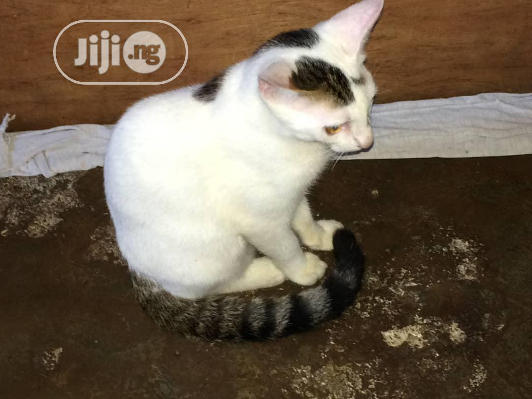 Archive: 3-6 month Male Mixed Breed American Shorthair