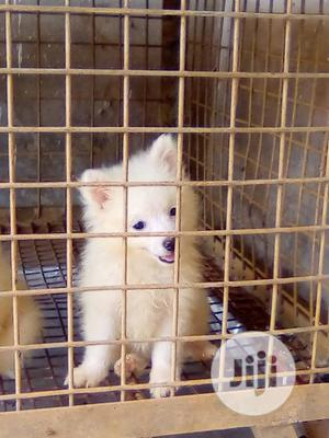 1-3 Month Male Purebred American Eskimo | Dogs & Puppies for sale in Lagos State, Lekki