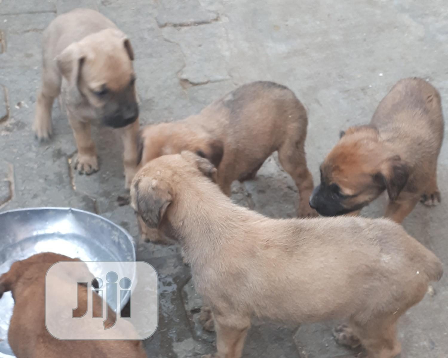 Archive: 1-3 Month Male Purebred Boerboel