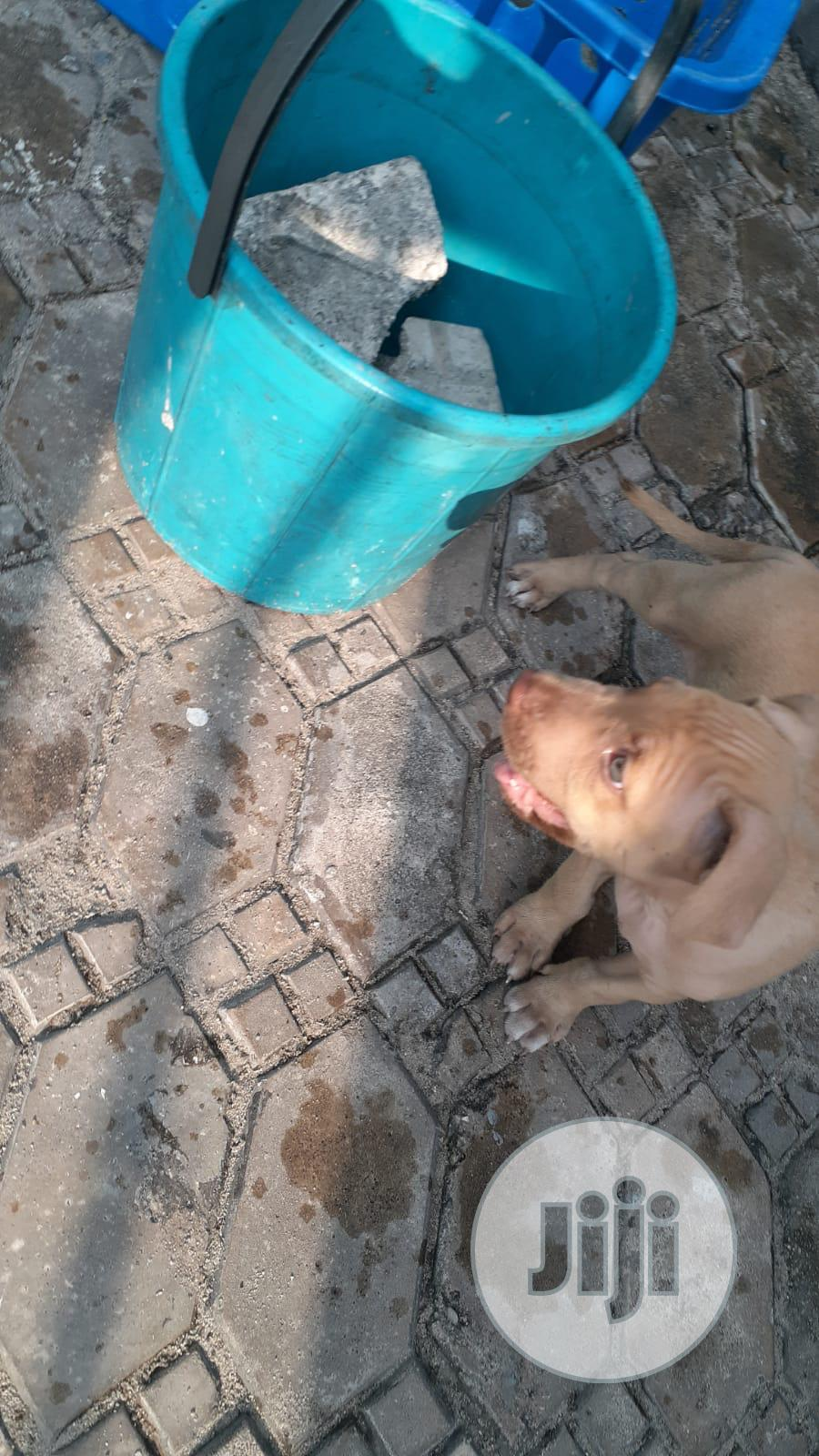 Archive: 0-1 month Male Purebred American Pit Bull Terrier