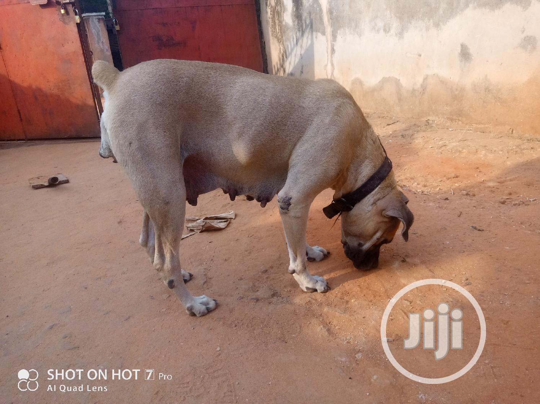 Archive: 1+ Year Female Purebred Boerboel