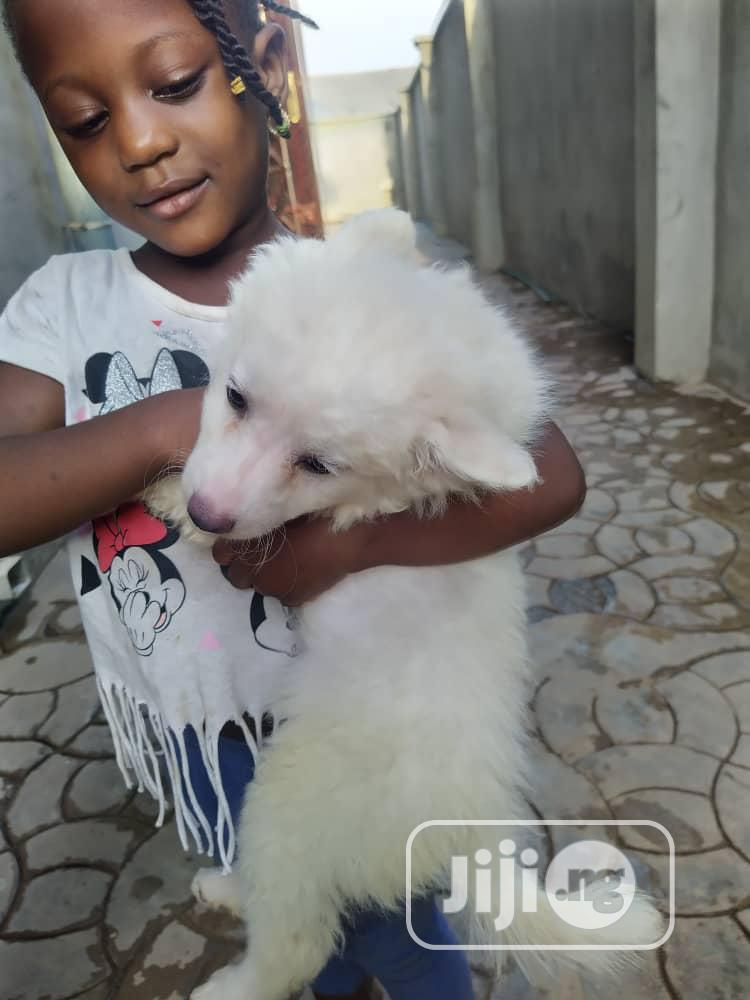 1-3 Month Female Purebred American Eskimo | Dogs & Puppies for sale in Ikeja, Lagos State, Nigeria