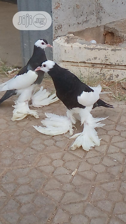 Archive: Reverse Wing Pouter Shantu