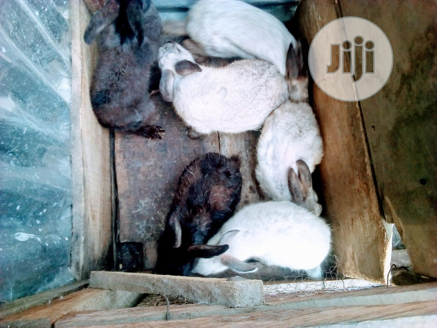 Weanners And Adult Rabbits | Livestock & Poultry for sale in Ojodu, Lagos State, Nigeria