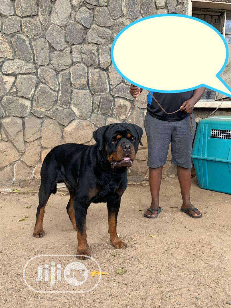 1+ year Female Purebred Rottweiler | Dogs & Puppies for sale in Ikotun/Igando, Lagos State, Nigeria