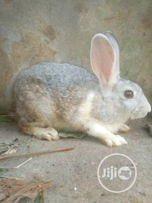 Pregnant Rabbits | Livestock & Poultry for sale in Rivers State, Eleme