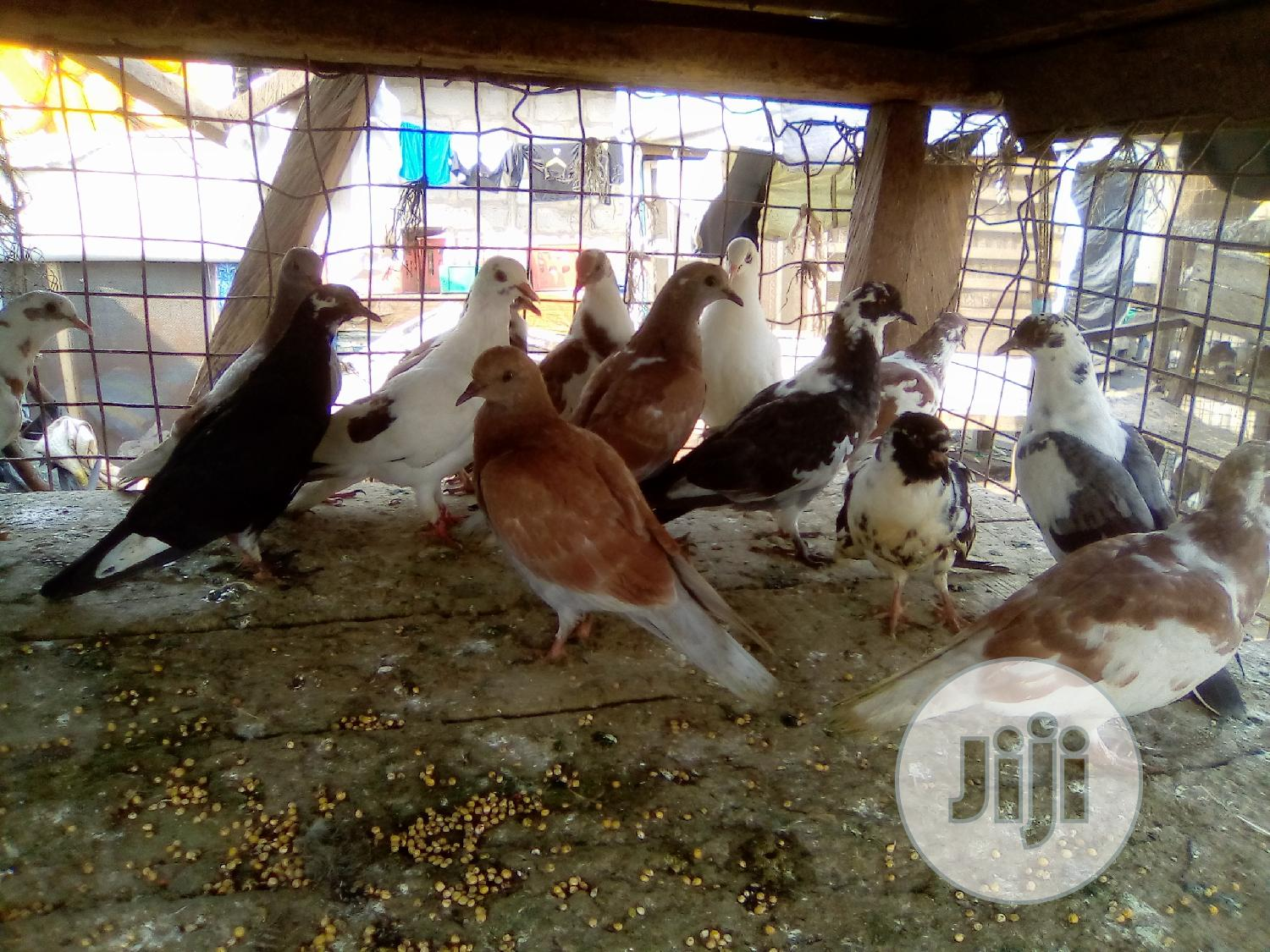 Pigeon For Sale | Birds for sale in Ikorodu, Lagos State, Nigeria