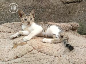 1-3 month Male Mixed Breed American Curl   Cats & Kittens for sale in Lagos State, Shomolu