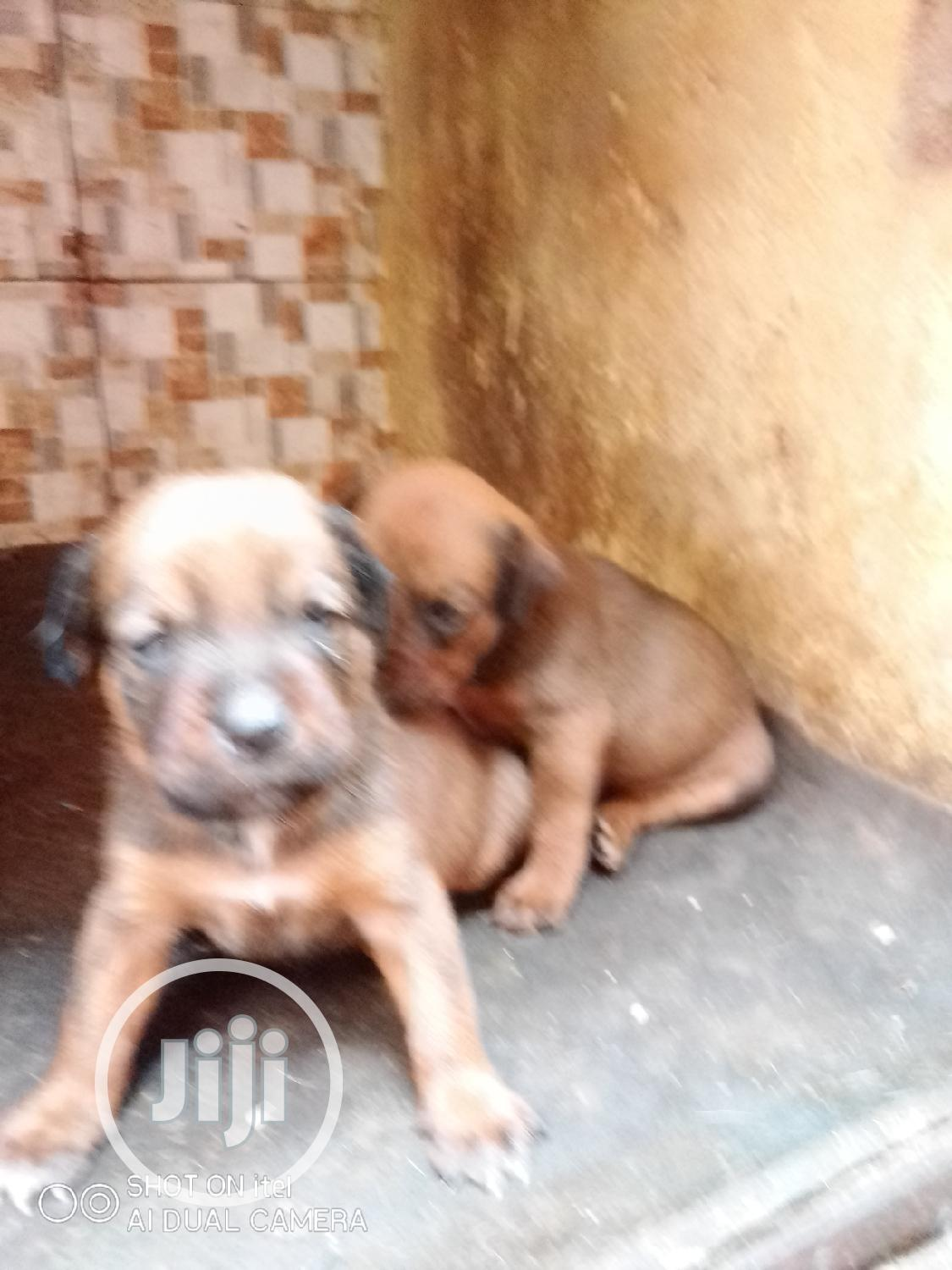 Archive: 0-1 month Male Mixed Breed Rottweiler