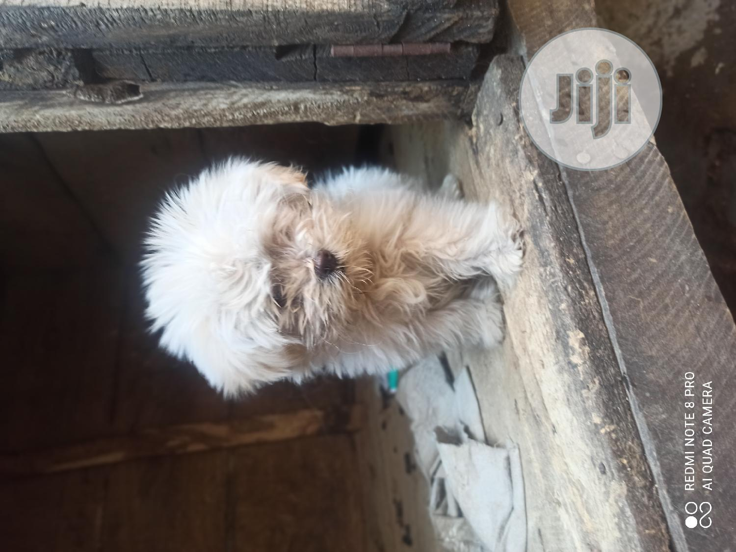 Archive: 1-3 Month Male Purebred Lhasa Apso