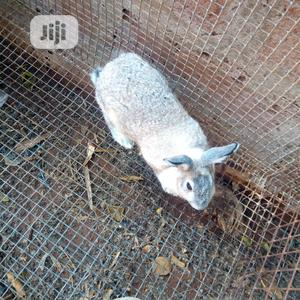 Mature Rabbits For Sale!!! | Livestock & Poultry for sale in Delta State, Oshimili South
