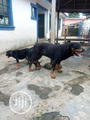 Stud Services(Mating) | Pet Services for sale in Lagos State, Ikorodu