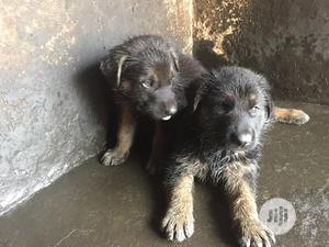 0-1 month Male Purebred German Shepherd | Dogs & Puppies for sale in Lagos State, Ikorodu