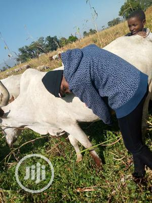 Abba Cows And Sheeps   Livestock & Poultry for sale in Bauchi State, Bauchi LGA