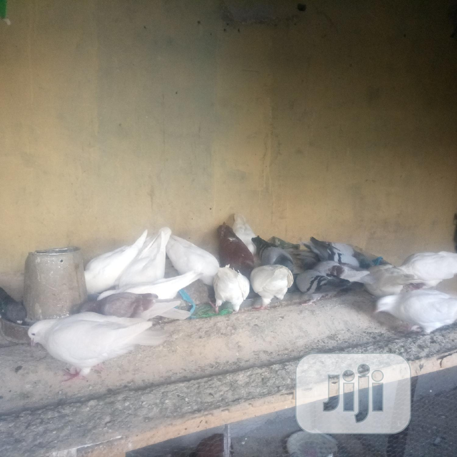 Archive: Birds And Cochin Egg For Sell