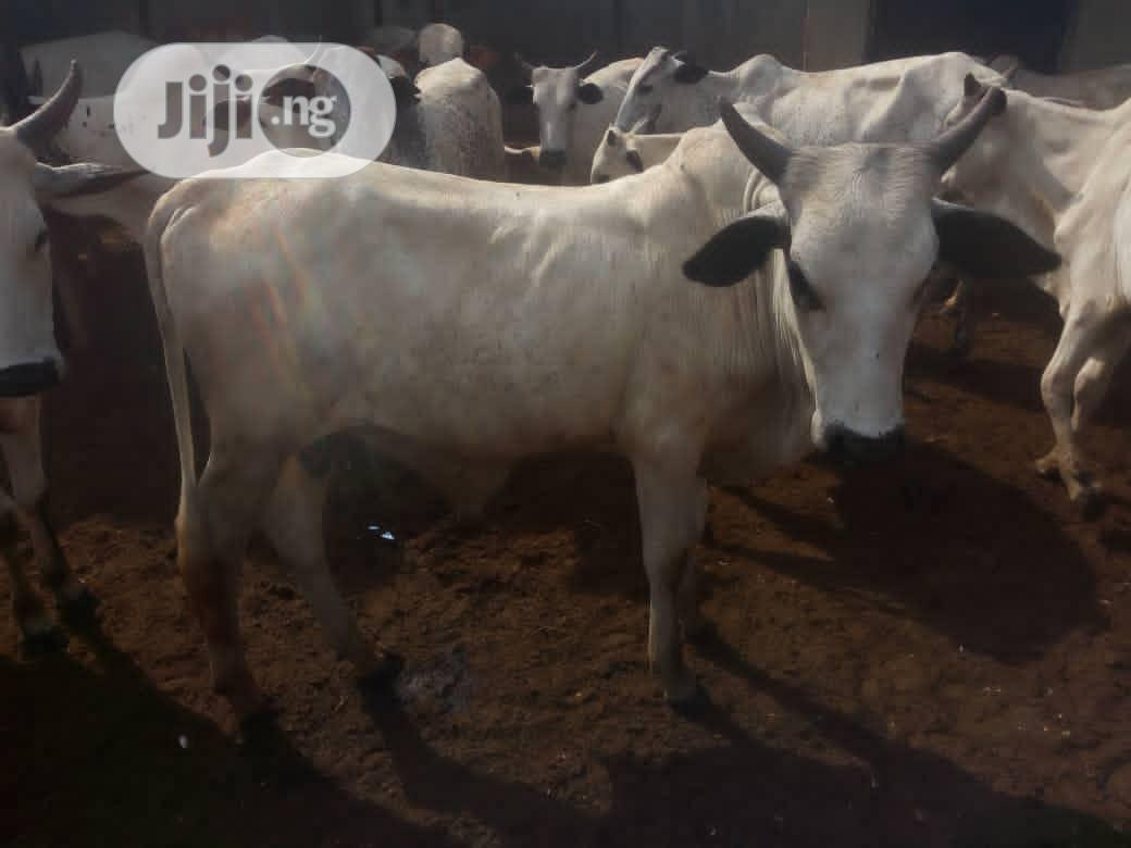 Archive: Healthy Cows Available For Sale At An Affordable Price