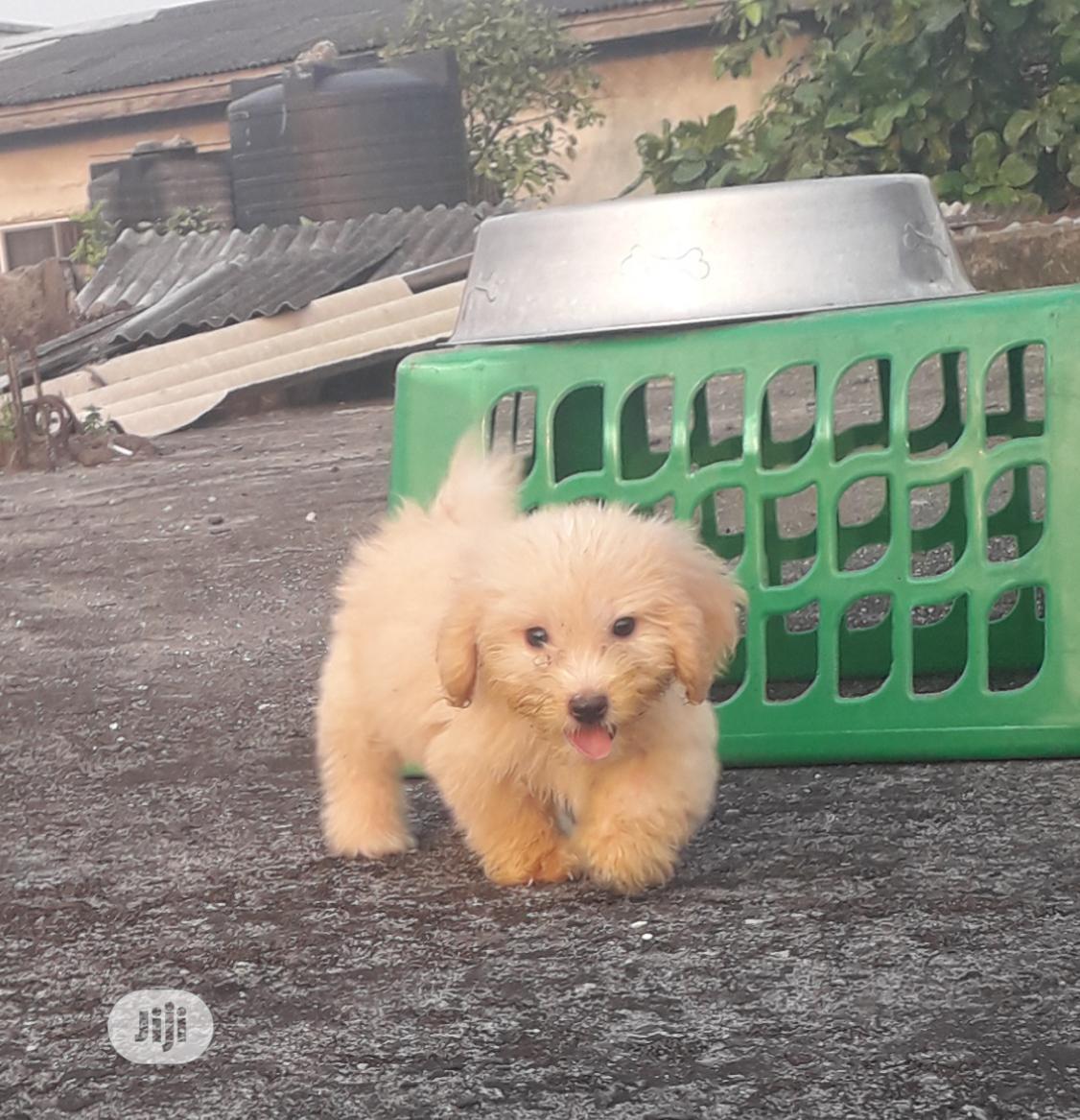 1-3 month Male Purebred Lhasa Apso | Dogs & Puppies for sale in Warri, Delta State, Nigeria