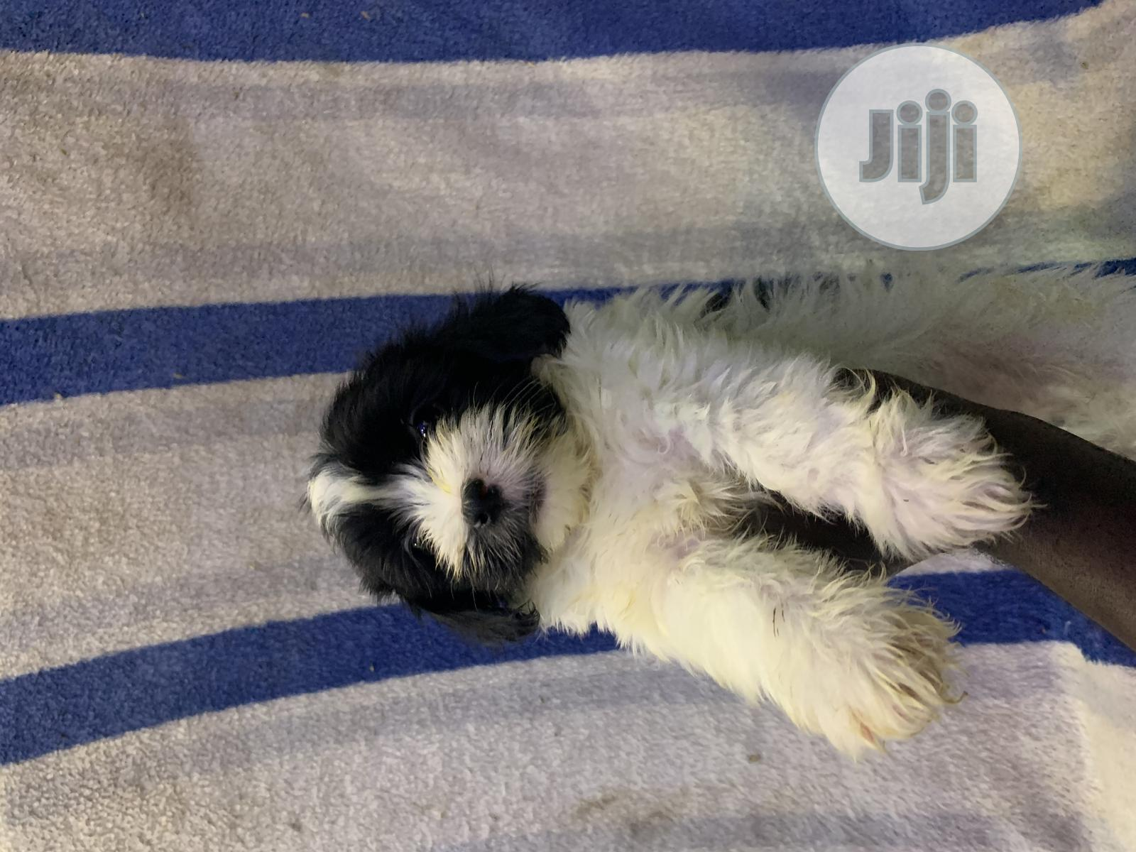 1-3 month Male Purebred Lhasa Apso | Dogs & Puppies for sale in Ilorin West, Kwara State, Nigeria