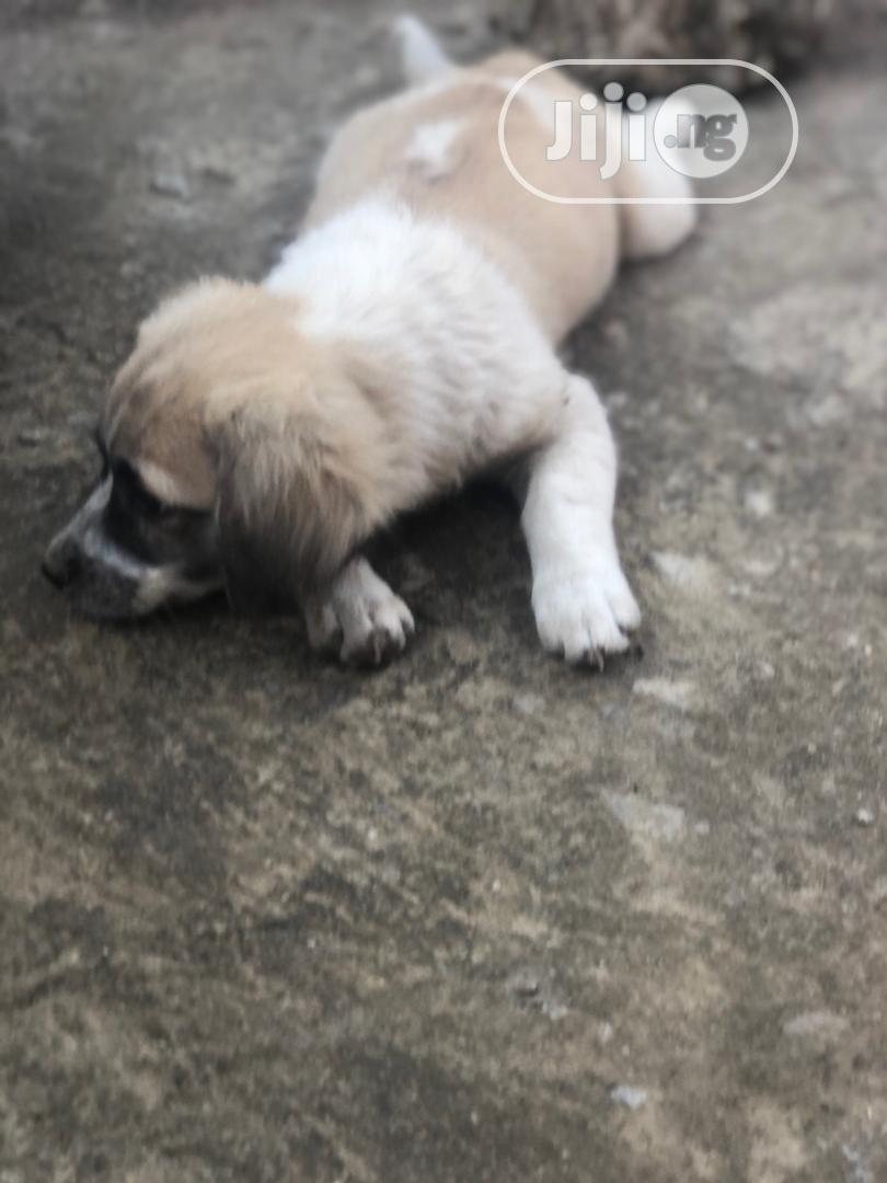 Archive: 1-3 Month Female Mixed Breed Lhasa Apso