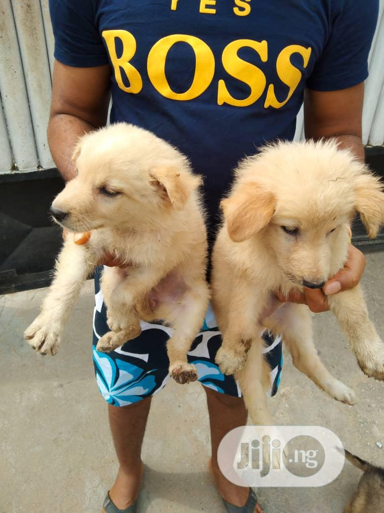 1-3 Month Female Mixed Breed Caucasian Shepherd | Dogs & Puppies for sale in Agboyi/Ketu, Lagos State, Nigeria