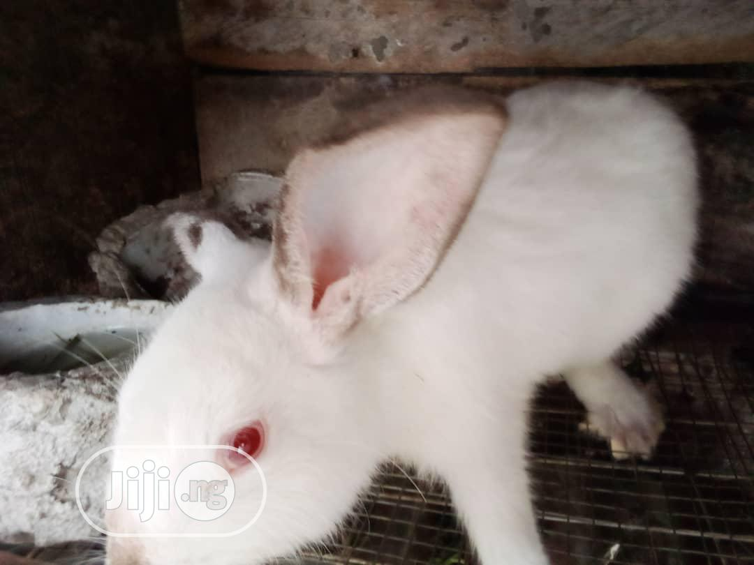 Pregnant Newzealand Rabbits   Livestock & Poultry for sale in Port-Harcourt, Rivers State, Nigeria