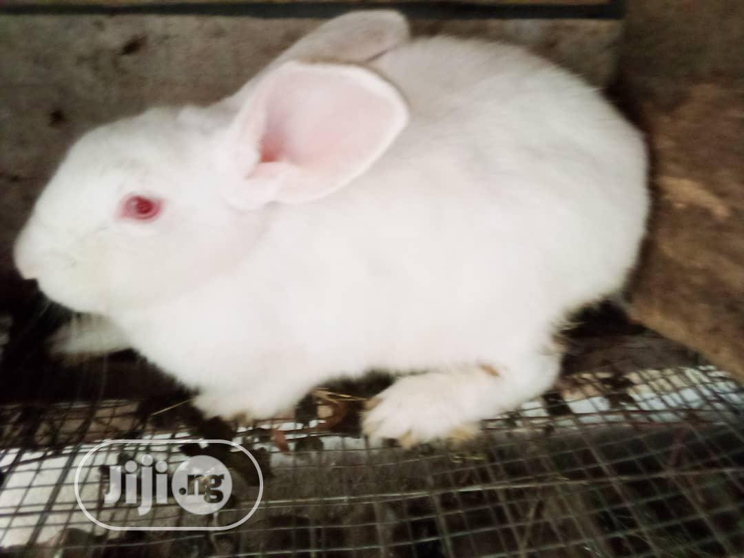 Pregnant Newzealand Rabbits