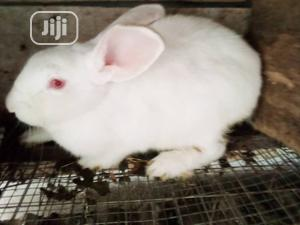 Pregnant Newzealand Rabbits   Livestock & Poultry for sale in Rivers State, Port-Harcourt