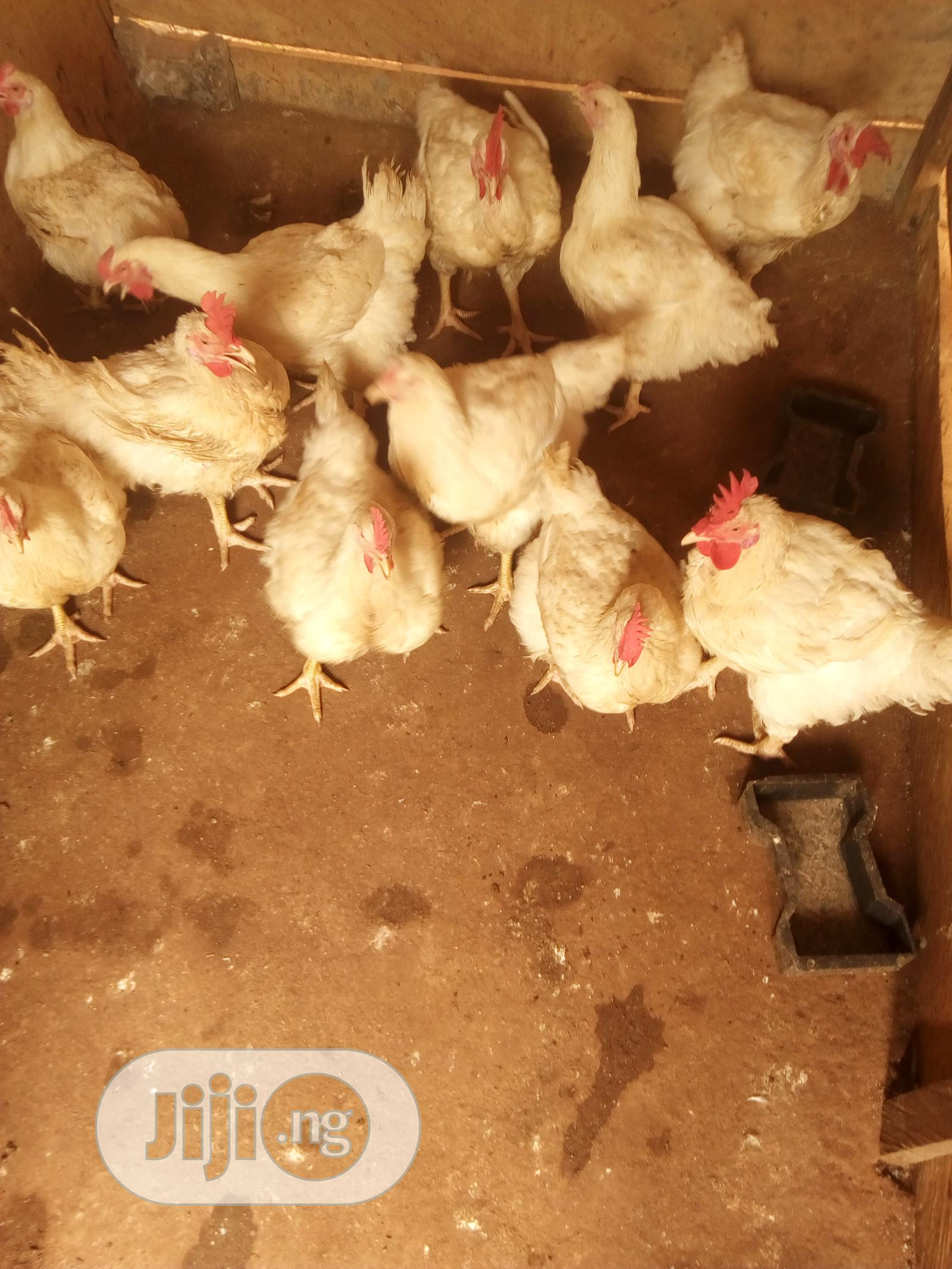 Archive: Male And Female Broilers For Sale