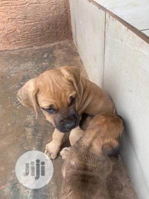 3-6 Month Male Purebred Boerboel | Dogs & Puppies for sale in Ogun State, Ifo