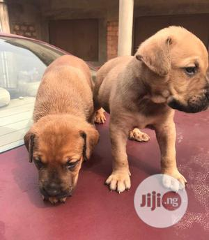 0-1 Month Male Purebred Boerboel | Dogs & Puppies for sale in Oyo State, Akinyele