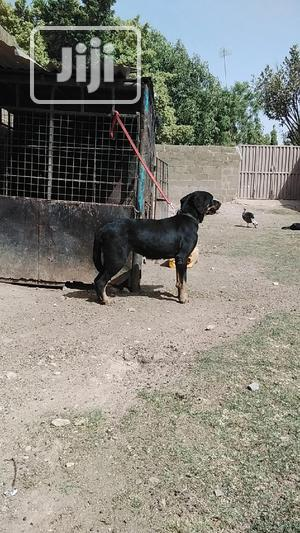 1+ Year Female Purebred Rottweiler | Dogs & Puppies for sale in Kaduna State, Zaria