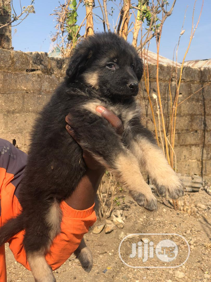 1-3 Month Female Purebred German Shepherd | Dogs & Puppies for sale in Ika South, Delta State, Nigeria