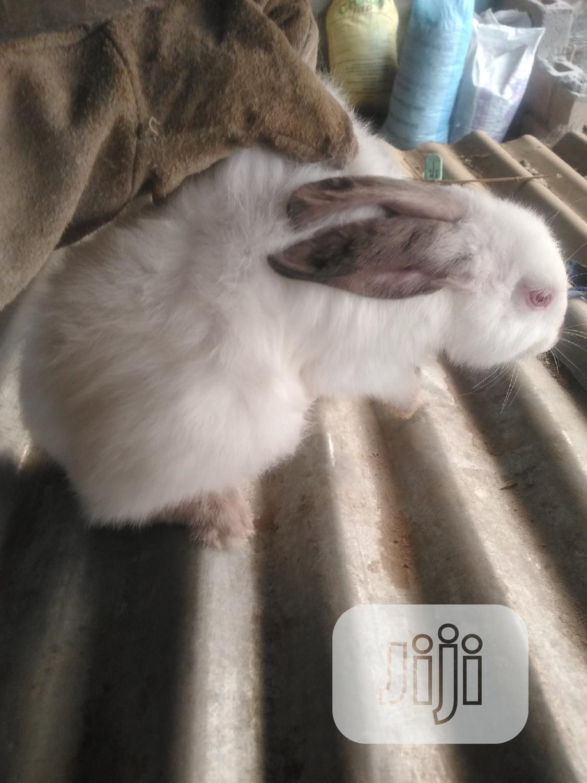 Archive: Hyla Rabbits