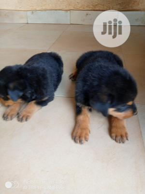 1-3 Month Female Purebred Rottweiler   Dogs & Puppies for sale in Kwara State, Ilorin South