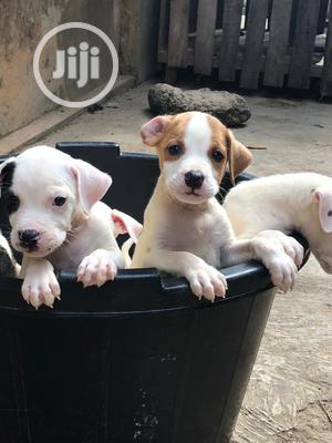 1-3 Month Female Purebred American Pit Bull Terrier | Dogs & Puppies for sale in Lagos State, Abule Egba