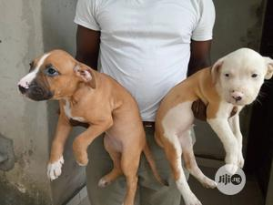 1-3 month Male Purebred American Pit Bull Terrier | Dogs & Puppies for sale in Rivers State, Port-Harcourt