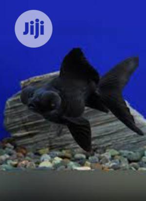 Black Morr Aquarium Fishes | Fish for sale in Lagos State, Surulere