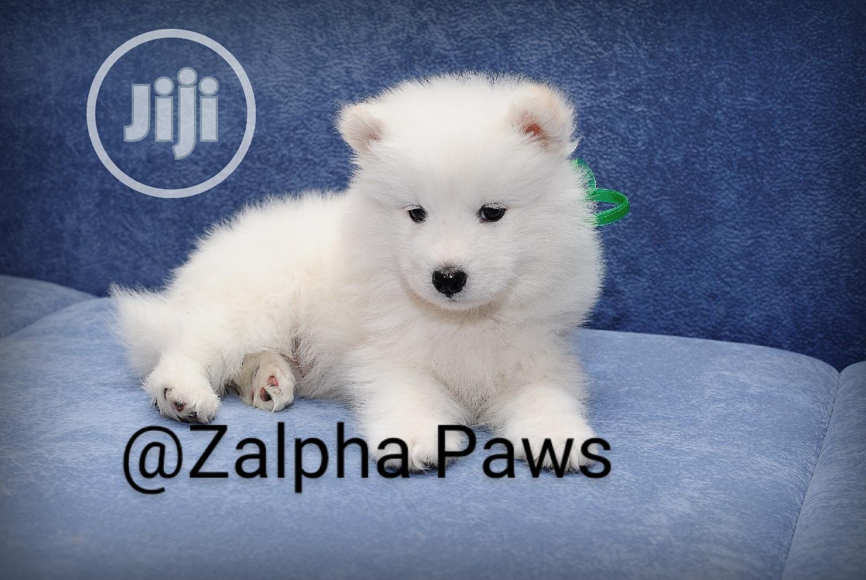 1-3 Month Female Purebred American Eskimo