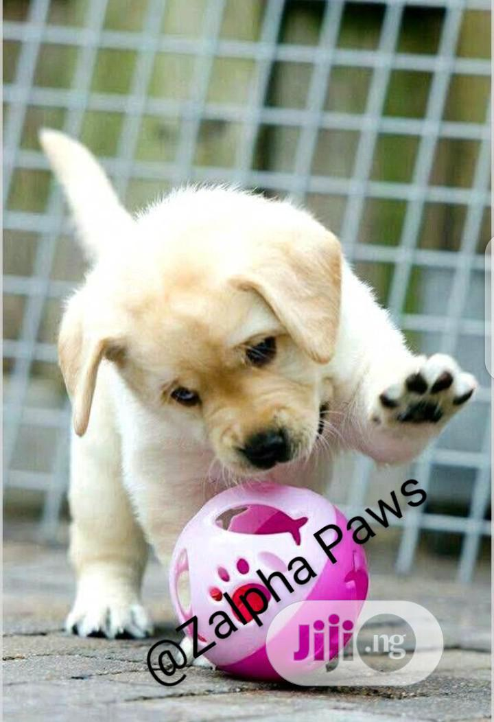 1-3 Month Male Purebred Golden Retriever | Dogs & Puppies for sale in Isolo, Lagos State, Nigeria