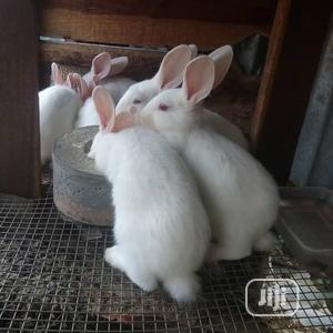 Healthy Rabbits - Different Species Ages   Livestock & Poultry for sale in Abuja (FCT) State, Jabi
