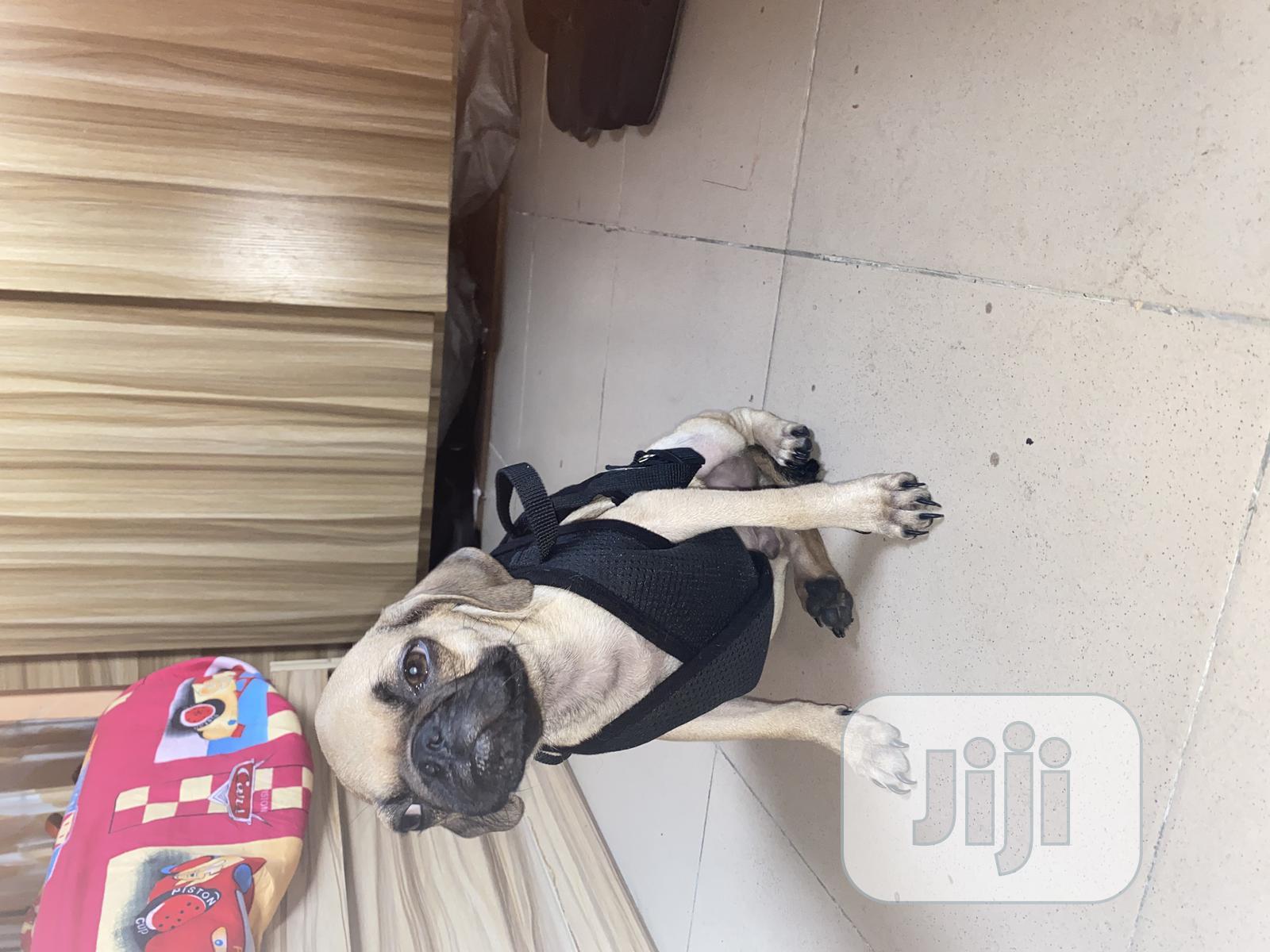 3-6 Month Male Purebred Pug