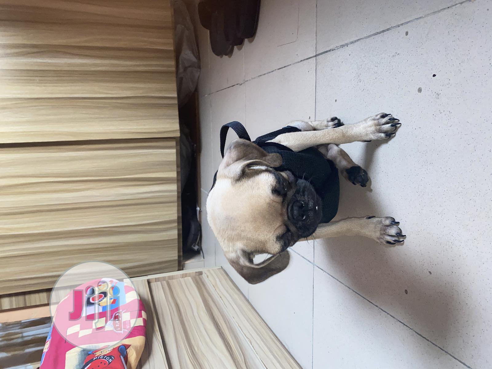 3-6 Month Male Purebred Pug   Dogs & Puppies for sale in Owerri, Imo State, Nigeria