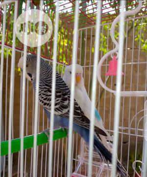 Budgies For Sale   Birds for sale in Niger State, Suleja
